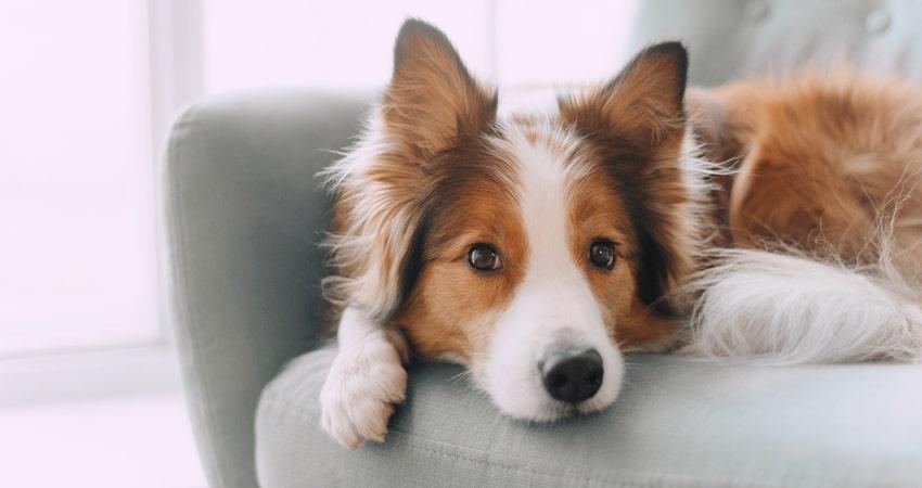 Pelos de Cachorro do Sofá